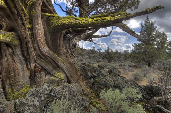 Ancient juniper in Badlands Wilderness (photo by Greg Burke)