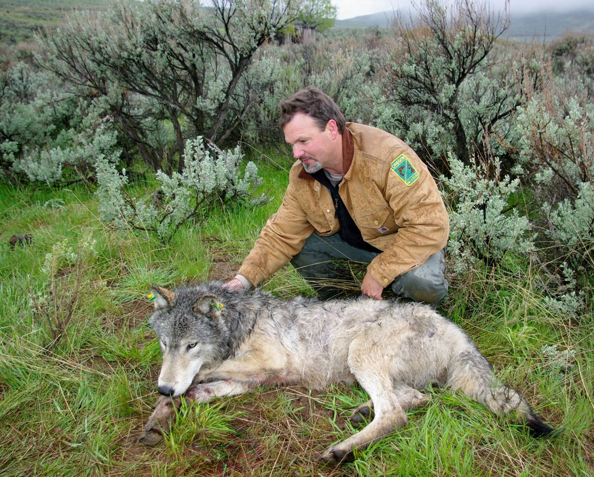 Russ Morgan with wolf, courtesy of ODFW