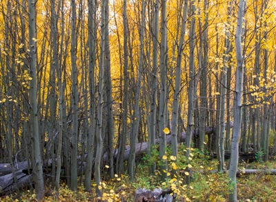 Tumalo Creek aspens