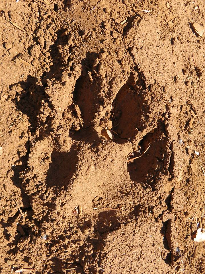 This wolf track was found near Crater Lake National Park during the 2016 Oregon Wild Crater Lake Wolf Rendezvous. It may very well be that of OR7. Credit Jonathan Jelen.