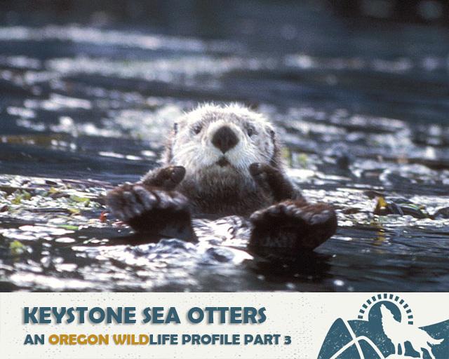 Sea Otters: A Keystone Musical | Oregon Wild