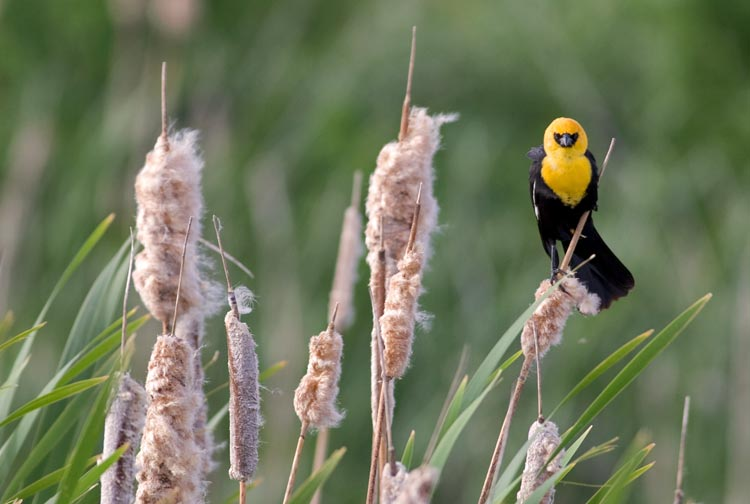 Yellow headed Blackbird on Lower Klamath National Wildlife Refuge