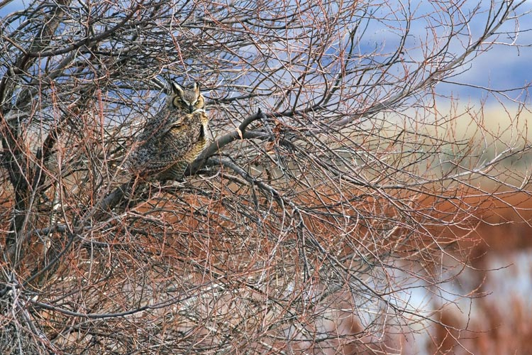 Great Horned Owl on Lower Klamath National Wildlife Refuge