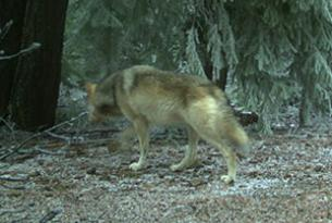 For the first time in decades, multiple wolves were confirmed on the slopes of Mt. Hood!