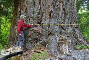 "Emile Shelter Big Tree — 12' 7"" dbh, about 200' tall — one of the largest Douglas firs in Oregon"