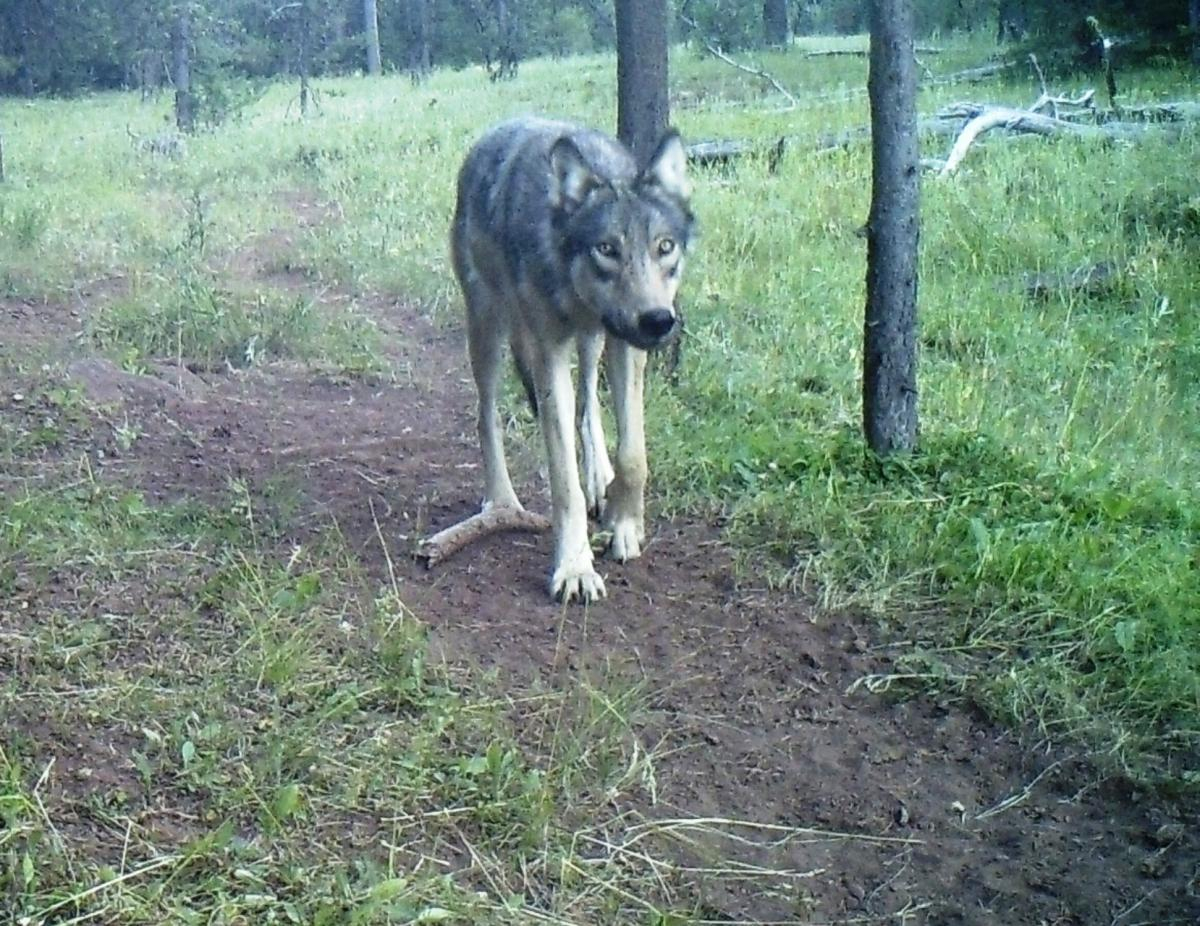 Trail cam photo of a wolf from the Harl Butte Pack by Oregon Wild