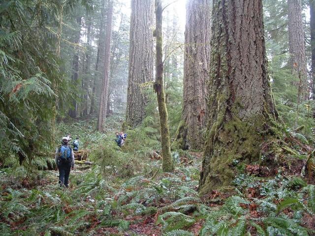 Backyard Forest western oregon blm backyard forests | oregon wild