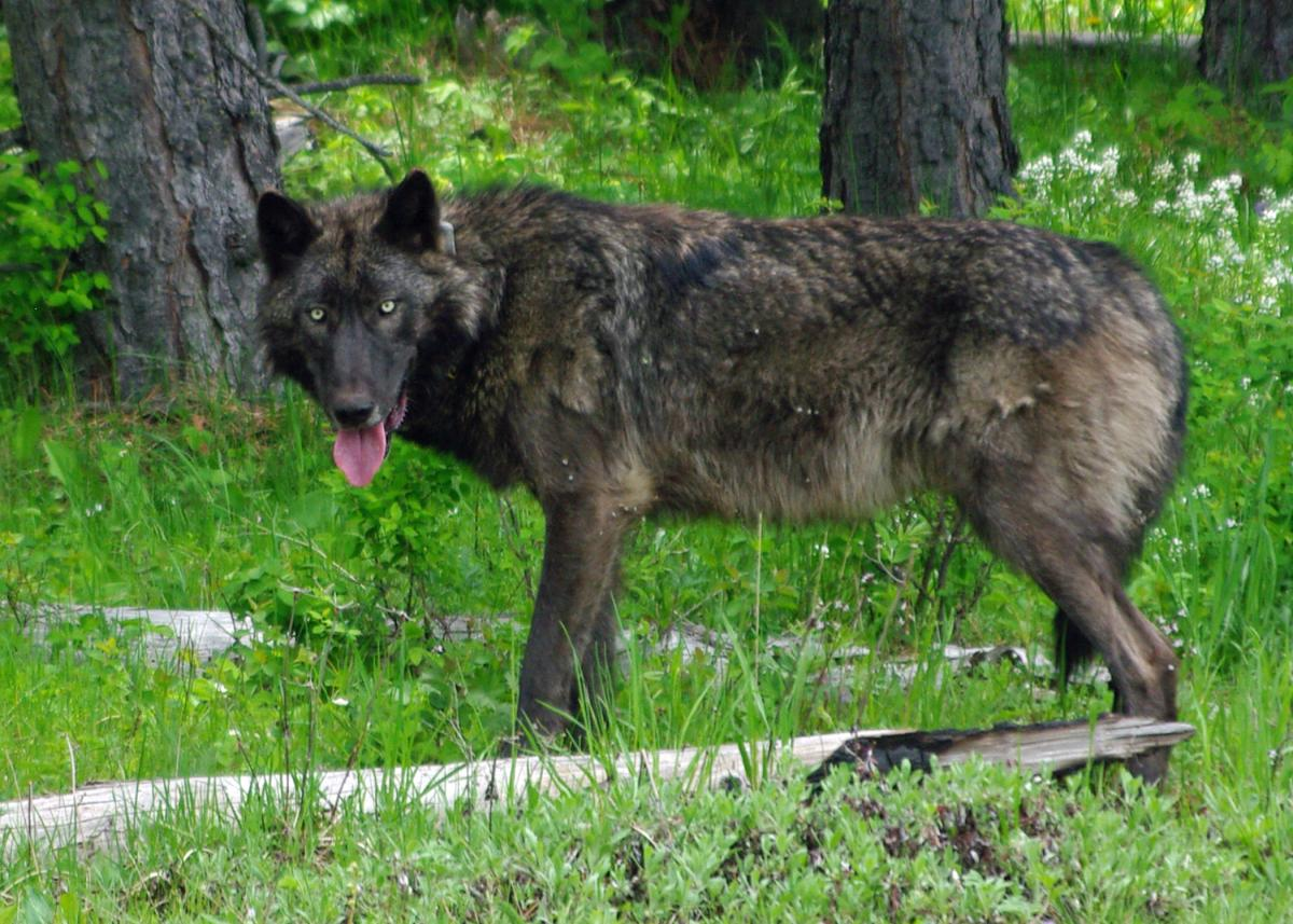 IMGP9557ce_Mt_Emily_male_wolf_brown_odfw.jpg