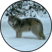 April Wildlife Update Wolf Recovery Continues