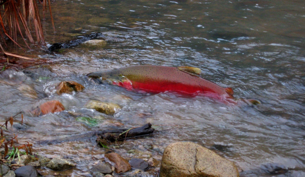 Salmon in a creek by Ann Chamberlain