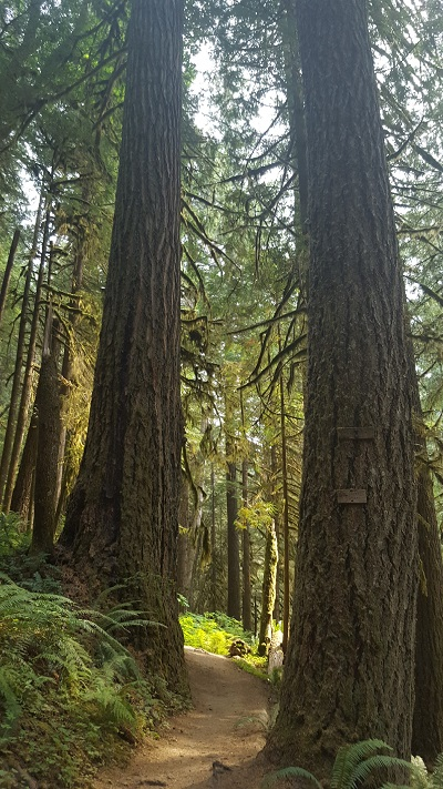 There is no substitute for a real old-growth forest