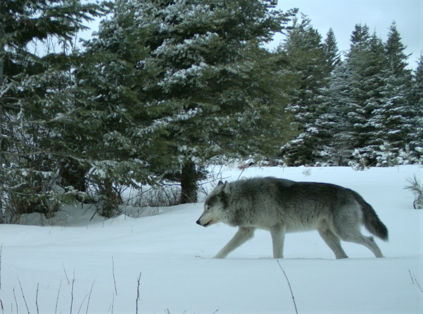 Governor Kate Brown Trashes Her Own Wolf Plan
