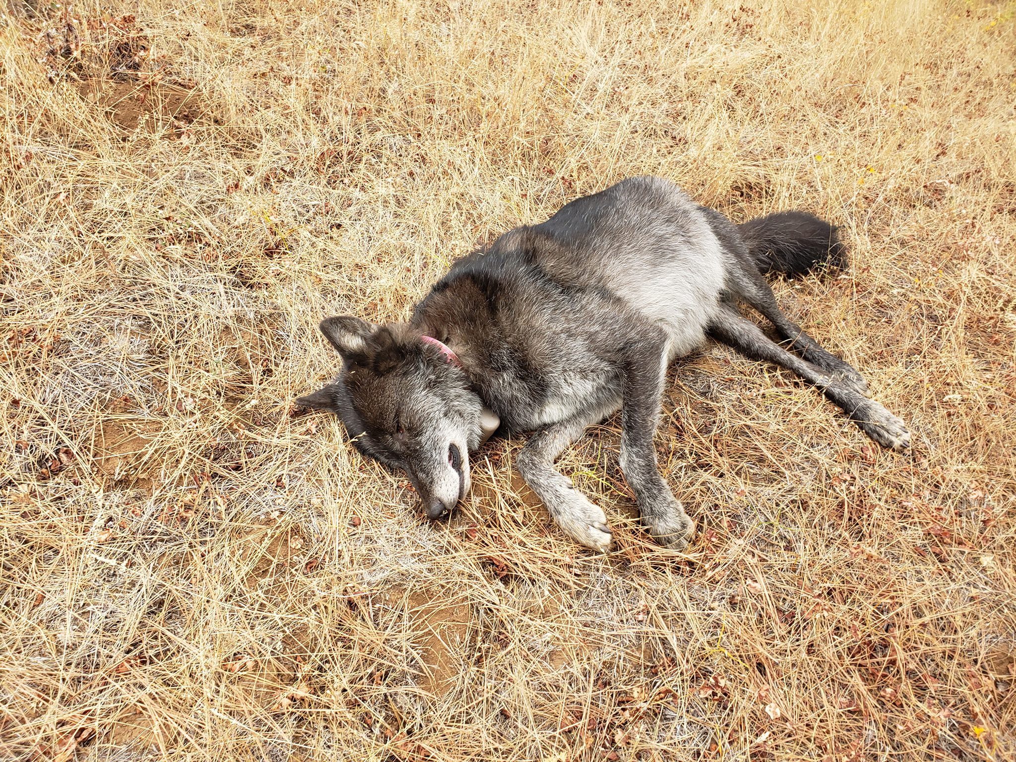 Poached Wolf via Oregon State Police