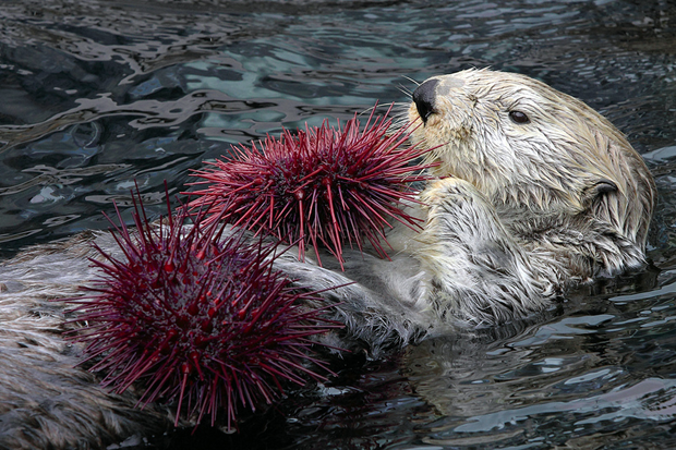 How Do Sea Otters Get Their Food