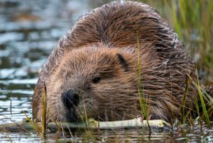 A beaver partially submerged in a pond