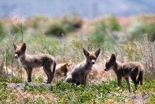 Coyote pups by Brett Cole