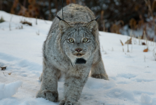 lynx facing the camera while walking through the snow
