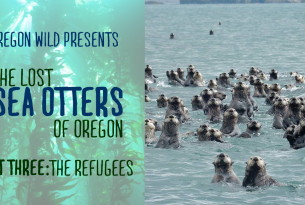 The Lost Sea Otters of Oregon - The Refugees