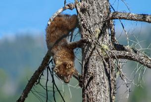 Pacific Fisher climbing down a tree, Illinois River, Kalmiopsis Wilderness by Drew Watson