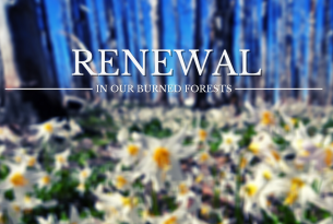 Webcast: Renewal in Our Burned Forests