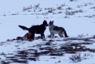 Wolf 755M (right) was the alpha male of the Lamar Canyon Pack seen here with 889F (left) the fourth wolf with whom he has tried to restart a pack after his mate was shot and killed outside Yellowstone Nat'l Park.