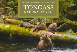 Tongass National Forest: Our Most Powerful Natural Climate Solution - mama grizzly bear and 3 cubs in a river by a large downed tree
