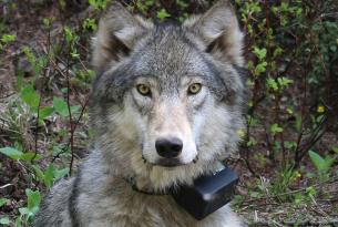 The Collared Wolf: Symbol of the West