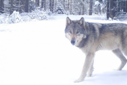 A wolf from the Indigo Pack in Oregon stands in the snow - photo via ODFW