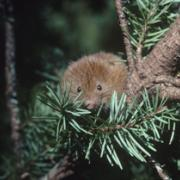 Red Tree Vole © Stephen DeStafano