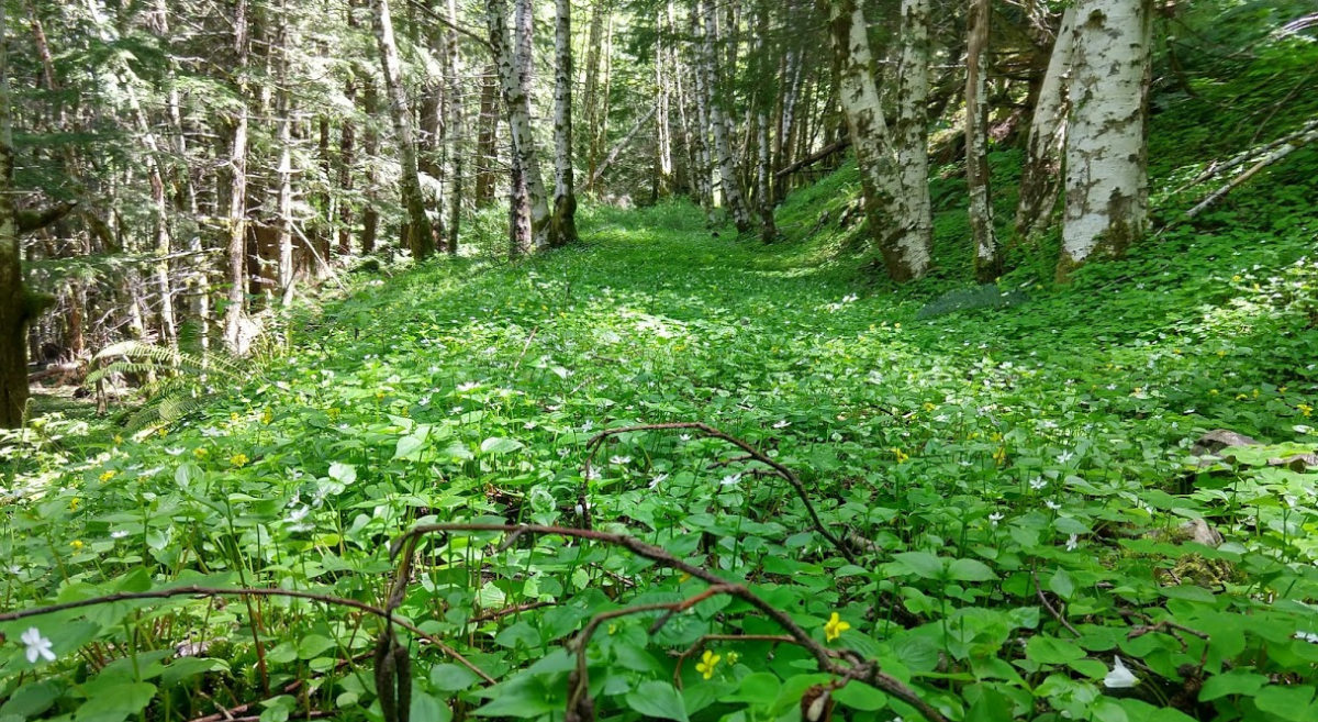 An old logging road in the Tillamook State Forest has become overgrown with green sorrel