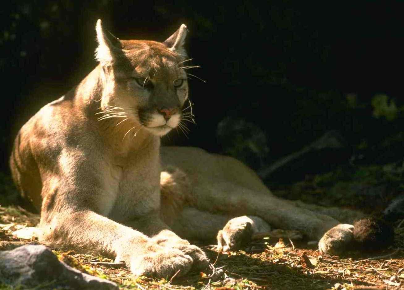 Cougar | Oregon Wild