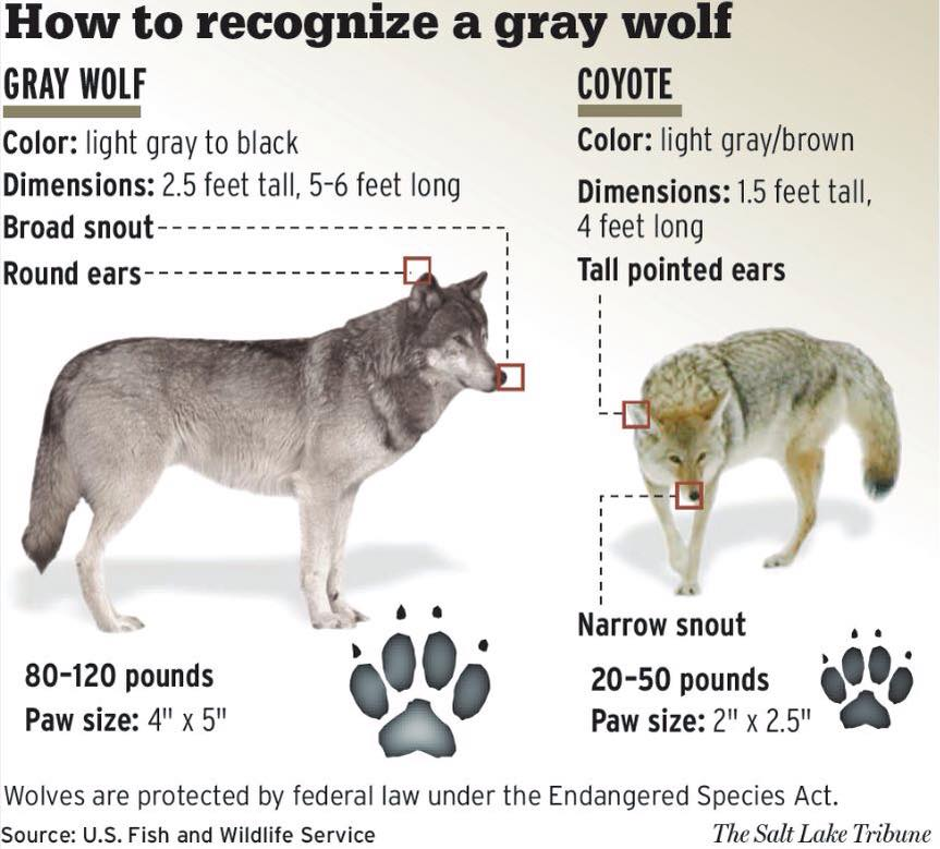 Oregon Wild Statement On 5th Known Gray Wolf Poaching In